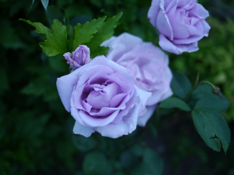 Roses in Kakheti